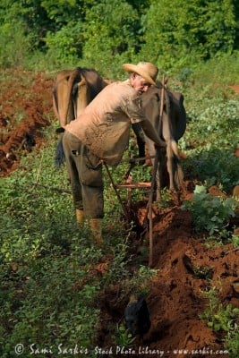 Farmer hard at work while ploughing his field, Vinales, Cuba.